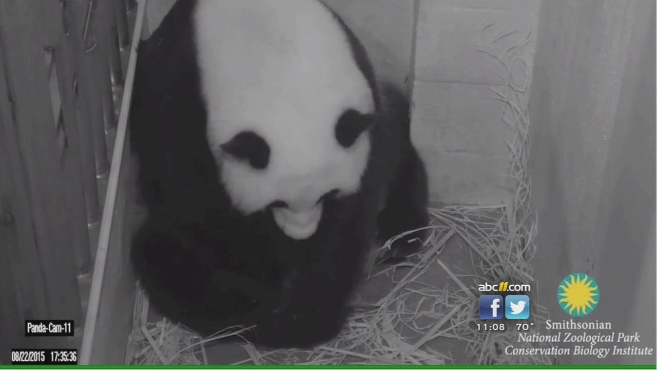 Giant panda gives birth to cub