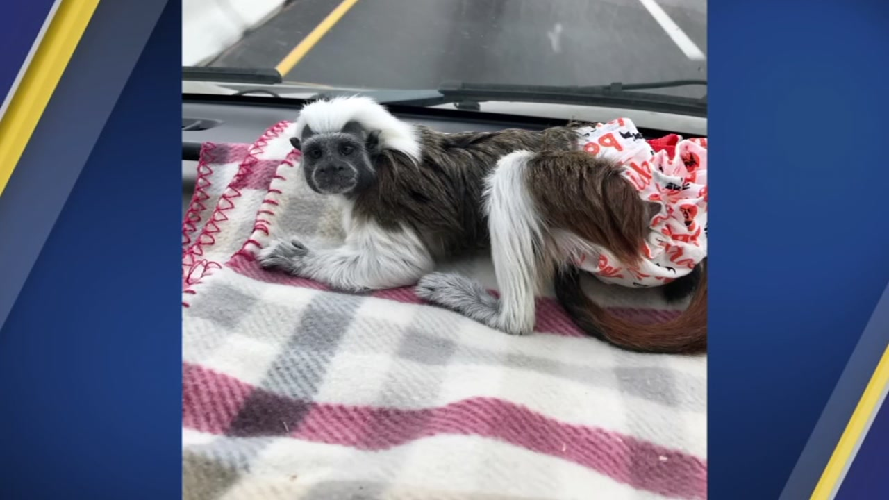 A South Carolina couple says their beloved baby tamarin monkey ran off from a Morrisville hotel.
