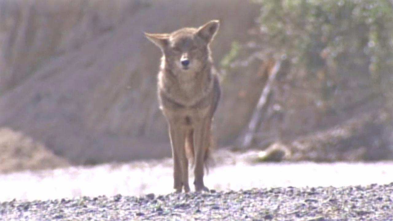 File photo of a coyote.