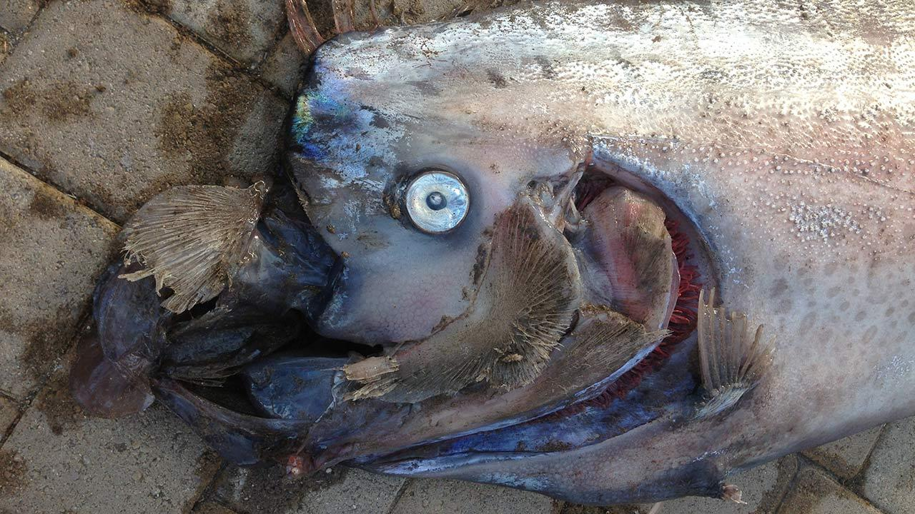 A dead, 18-foot long oarfish was found off the coast of Catalina Island on Sunday, Oct. 13, 2013.