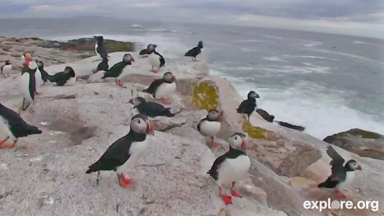 A camera shows puffins in their natural habitat on a remote Maine island.