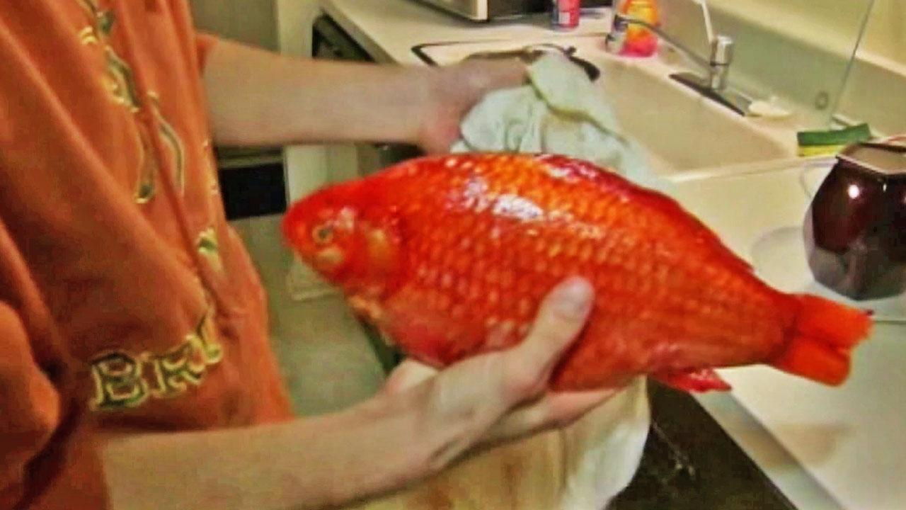 The goldfish weighs more than 3 pounds and is about 15 inches long.