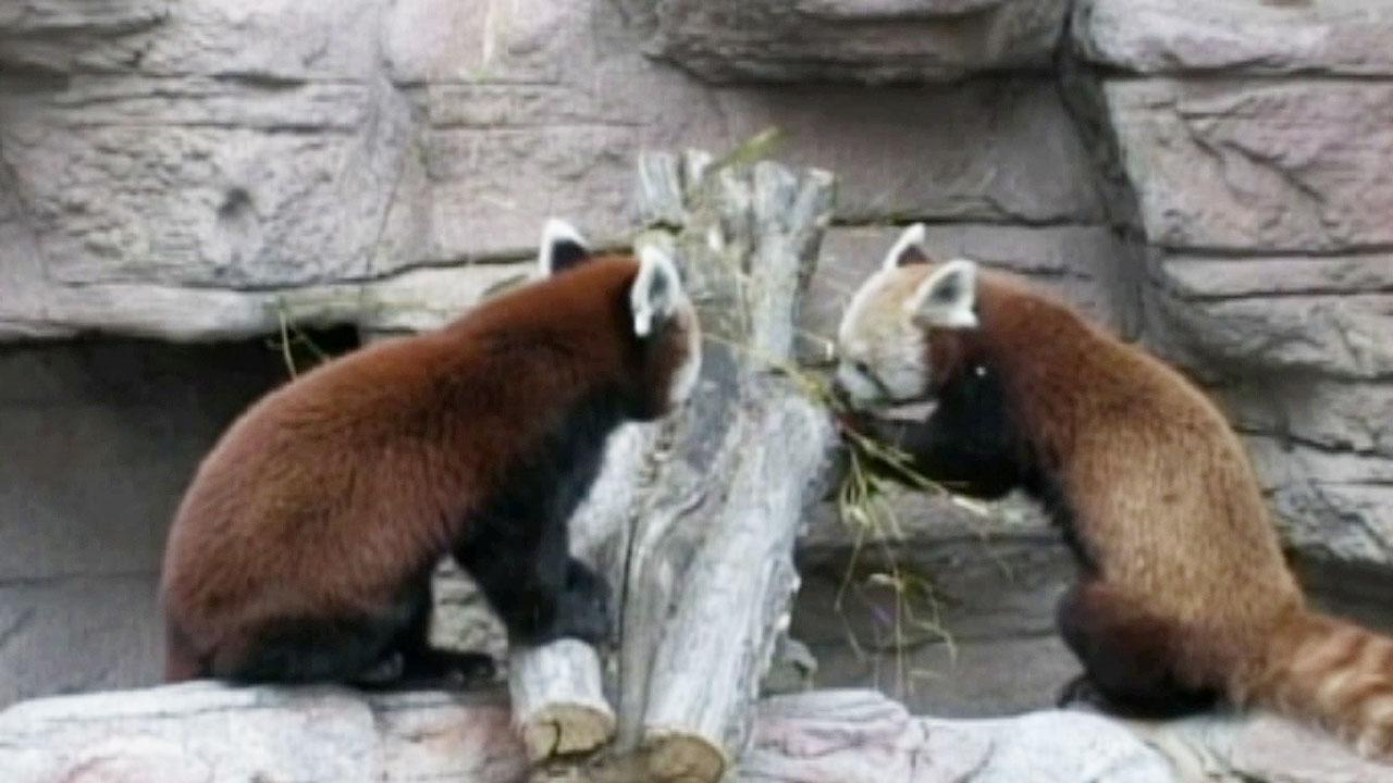Chewbacca only has eyes for the Denver Zoos lone female panda, Daisy, also a red panda.