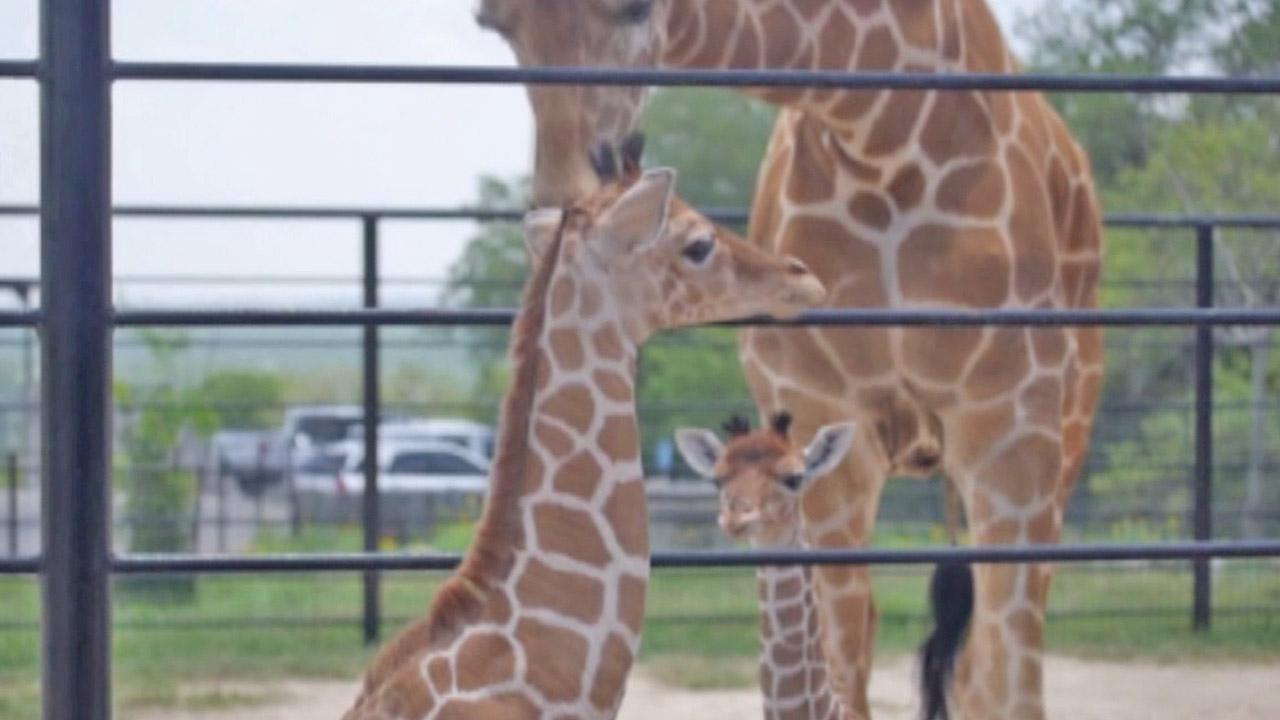 Twin giraffes, Wasswa and Nakato, are shown at the Natural Bridge Wildlife Ranch in San Antonio, Texas in this March file photo.