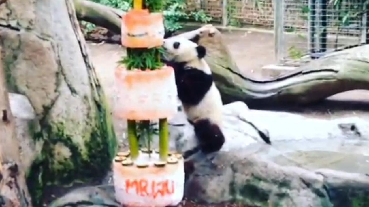 San Diego Zoos panda cub, Xiao Liwu, enjoys a birthday cake made of ice, bamboo and fruit.