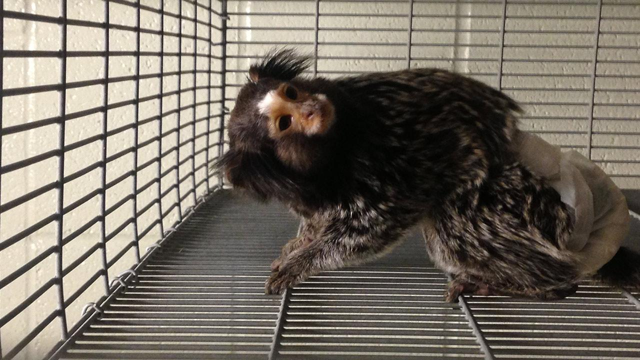Riverside County sheriffs deputies found a marmoset monkey during a drug bust in Thousand Palms on Friday, Aug. 2, 2013.