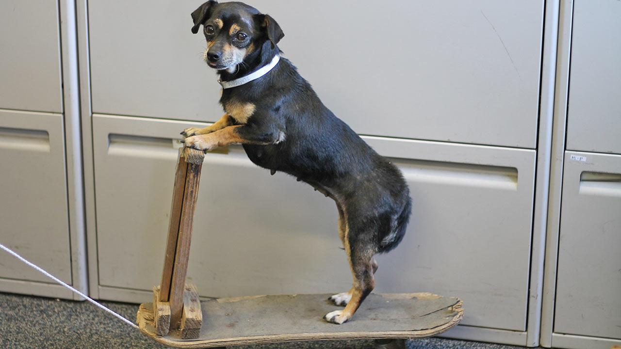 Chiquita the Chihuahua is shown on her skateboard. The 6-year-old Chihuahua is up for adoption at the Baldwin Park Animal Care Center.