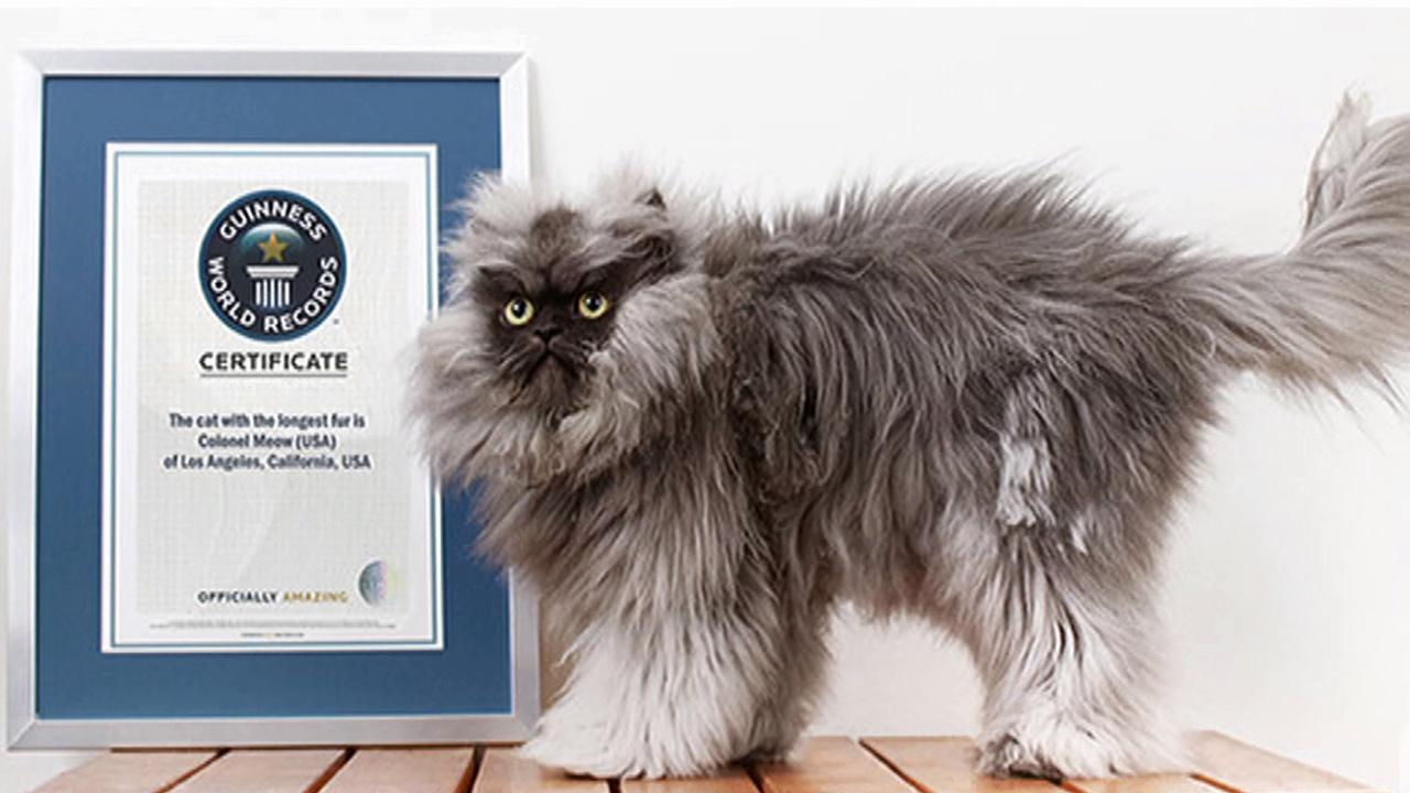 Colonel Meow, a Himalayan-Persian cross-breed, made the Guinness World Records book as the cat with the longest fur.