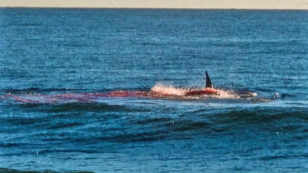 Bruce Langsen took this photo of a hungry great white shark eating a seal on Sunday, Sept. 15, 2013.