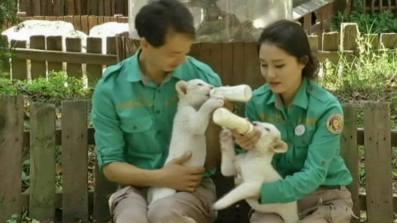 Rare white lion cubs made their debut at a South Korean zoo on Tuesday, Oct. 1, 2013.