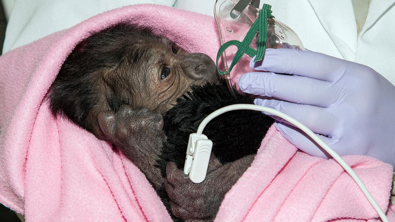 18-year-old Imani gave birth to a baby gorilla girl through a rare C-section at the San Diego Zoo Safari Park, March, 13, 2014.