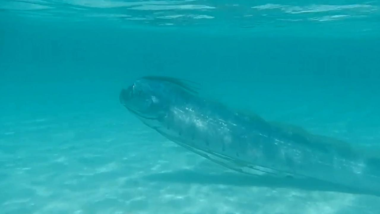 An oarfish swims in shallow water in this undated file photo.