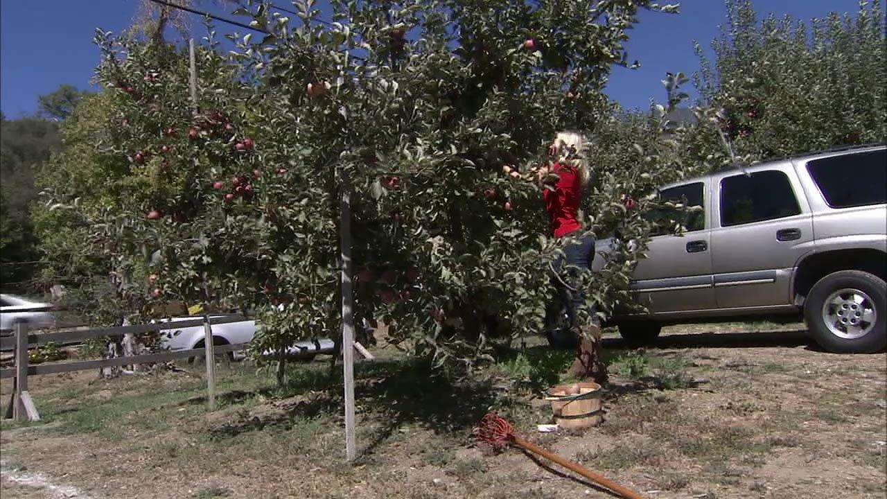 But for me, its all about the apples and making cider. You just have to pick enough apples for a five-gallon bucket.
