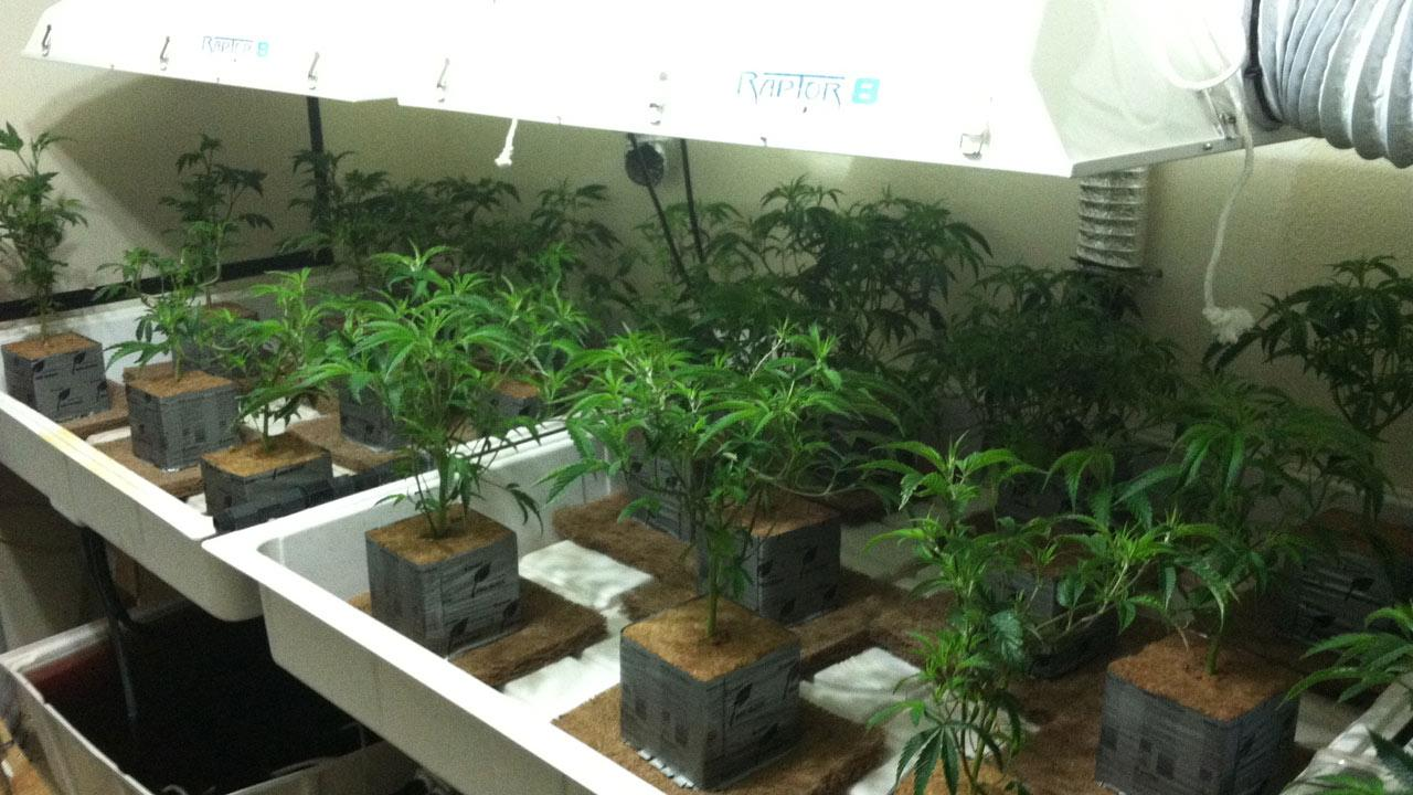 The San Bernardino County Sheriffs Department released this photo of a marijuana growing operation in Pinon Hills.