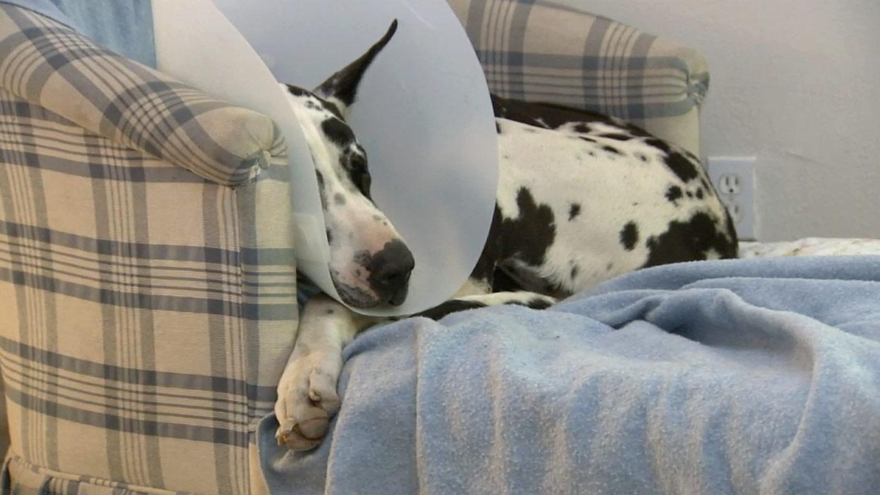 Sampson, a 2-year-old Great Dane from Hesperia, recovers from a pellet wound. He was shot Sunday, Feb. 24, 2013.