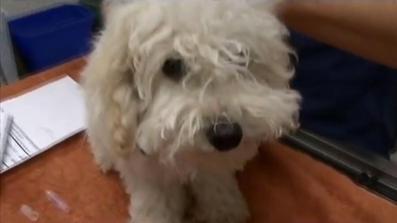 Sheri, a Poodle mix, was left unattended inside a vehicle in Riverside on Thursday, June 27, 2013.