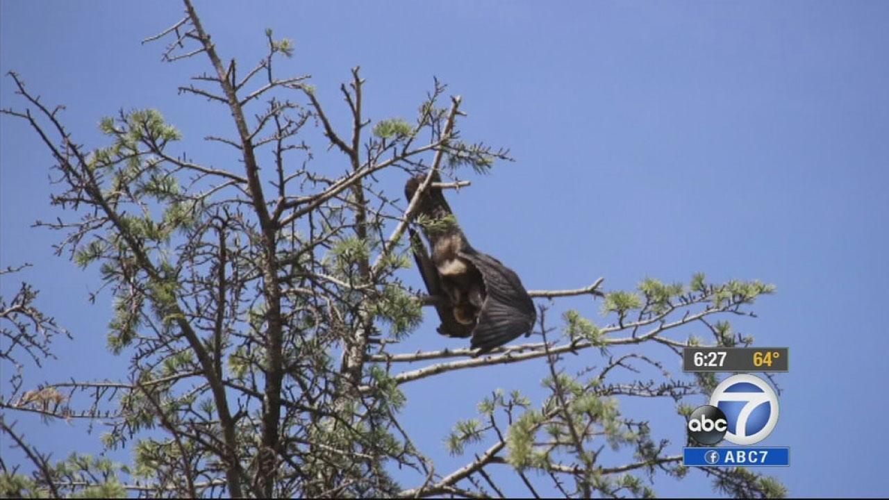 Rescue volunteers rescued a young falcon that was trapped at the top of a 70-foot tree in Hemet Friday, Jan. 3, 2013.