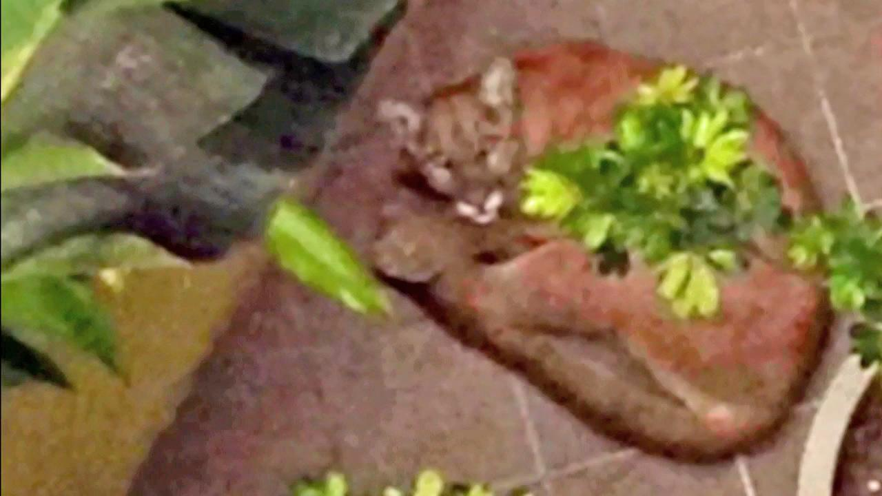 A mountain lion is shown in this undated file photo.