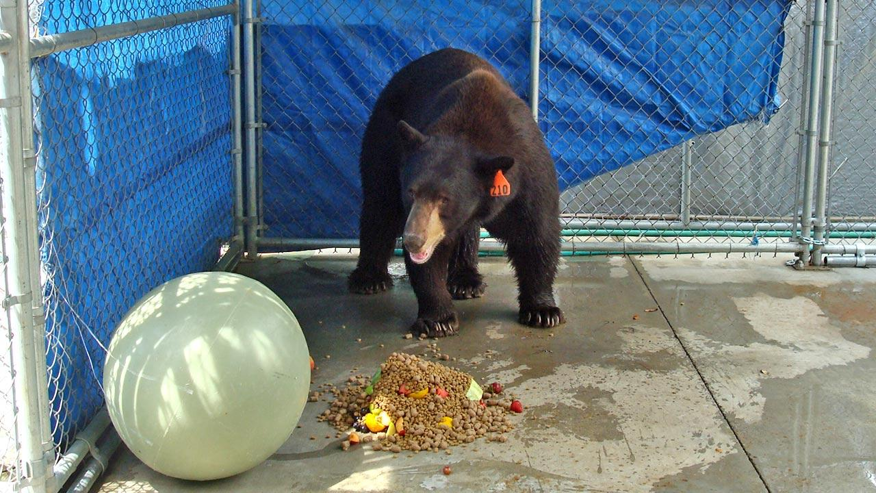 A trap baited with honey and bacon led to the capture of Meatball the bear in Glendale on Wednesday, Aug. 29, 2012. He was transported to a sanctuary in San Diego County.