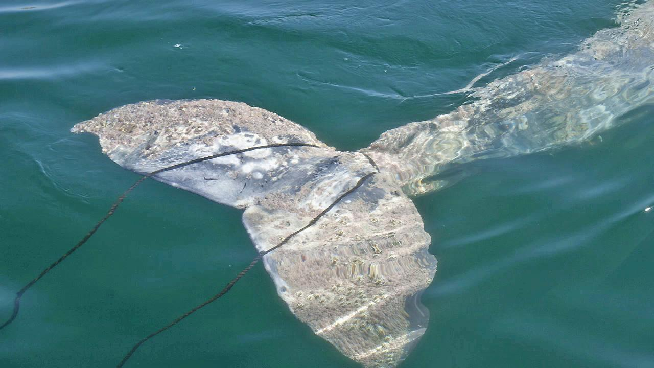 A young 20-foot gray whale is seen after it was caught in a rope in Manhattan Beach on Thursday, Sept. 6, 2012.