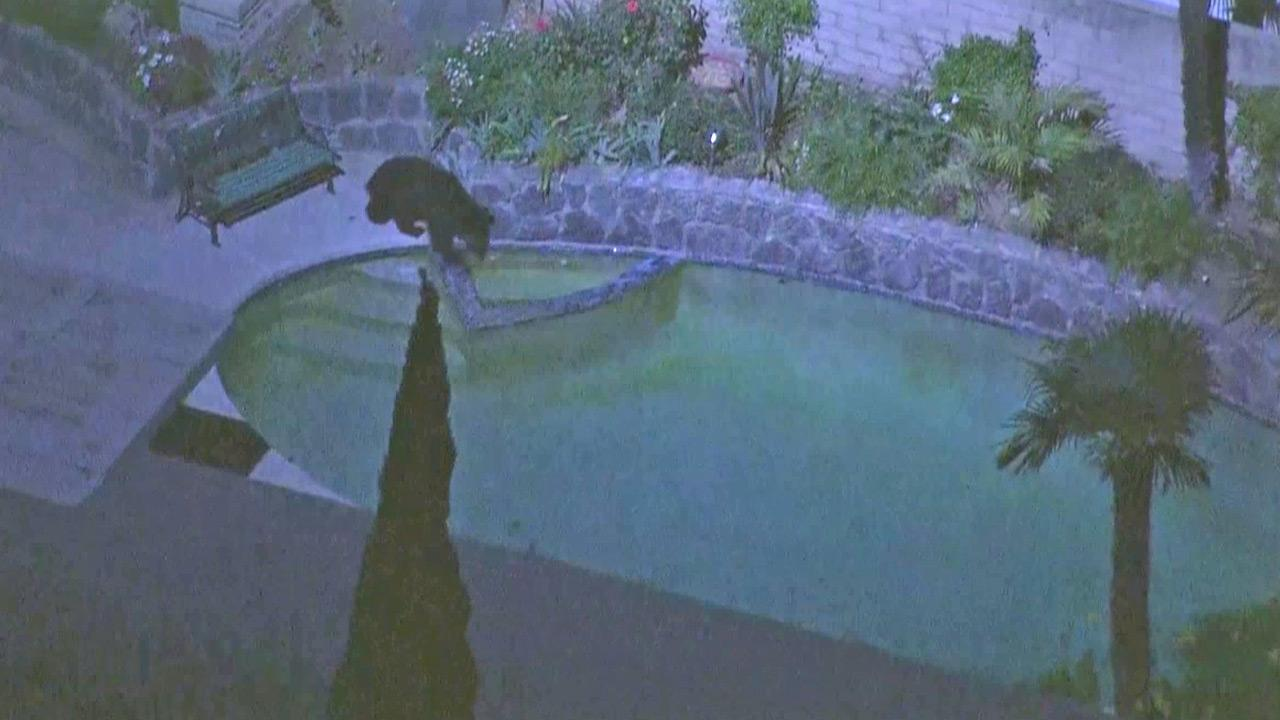 A bear stands by a swimming pool at a Granada Hills home on Thursday, Sept. 13, 2012.
