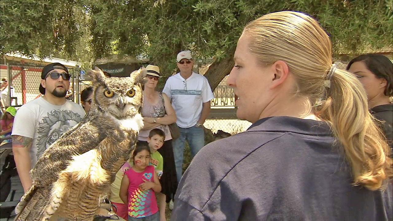 A woman holds an owl as people gather to learn about the bird at the Pierce College Farm Walk on Sunday, April 28, 2013.