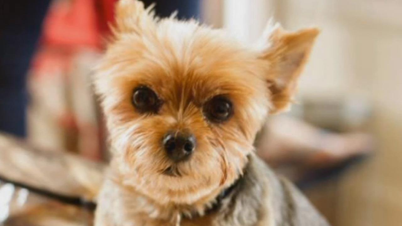 This undated file photo shows Walter, a deaf Yorkie, who was held for ransom by thieves.