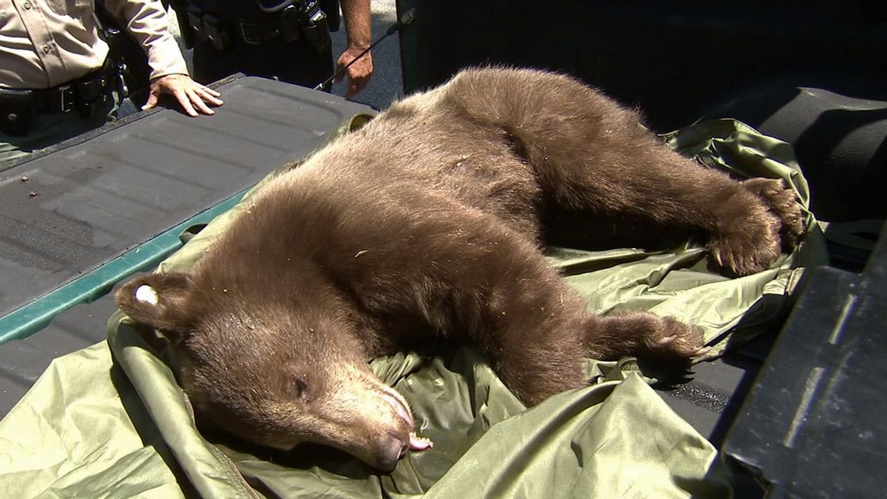 A young black bear is seen after members of the Department of Fish and Wildlife tranquilized her in a Sierra Madre neighborhood on Monday, June 10, 2013.