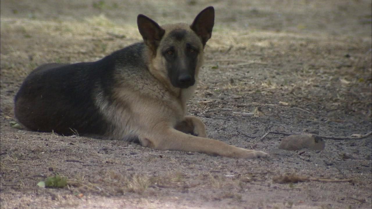 A lost German Shepherd has been spotted in the Elizabeth Lake area.