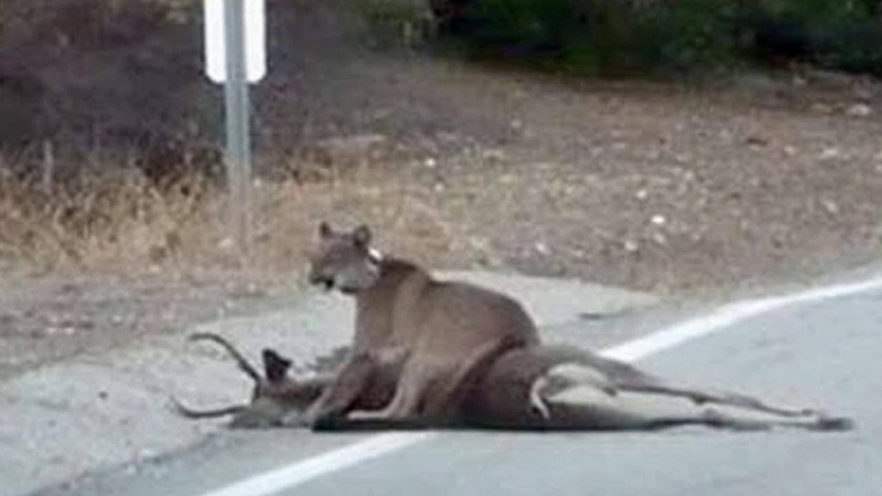 A female mountain lion was on top of a deer it had just killed along Mulholland Highway.