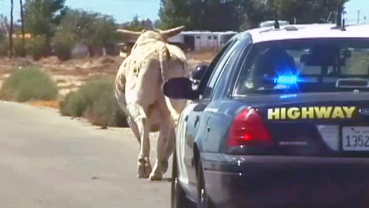 California Highway Patrol received a report of a bull running in traffic Sunday morning, Sept. 1, 2013.