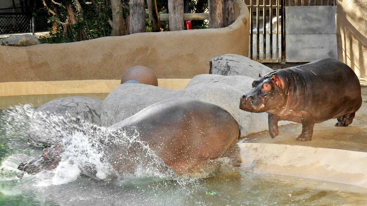 Mara, 10, came from the Topeka Zoo to the L.A. Zoo on December 16. She was brought to L.A. in hopes of becoming a companion to the 3-year-old male Adhama.