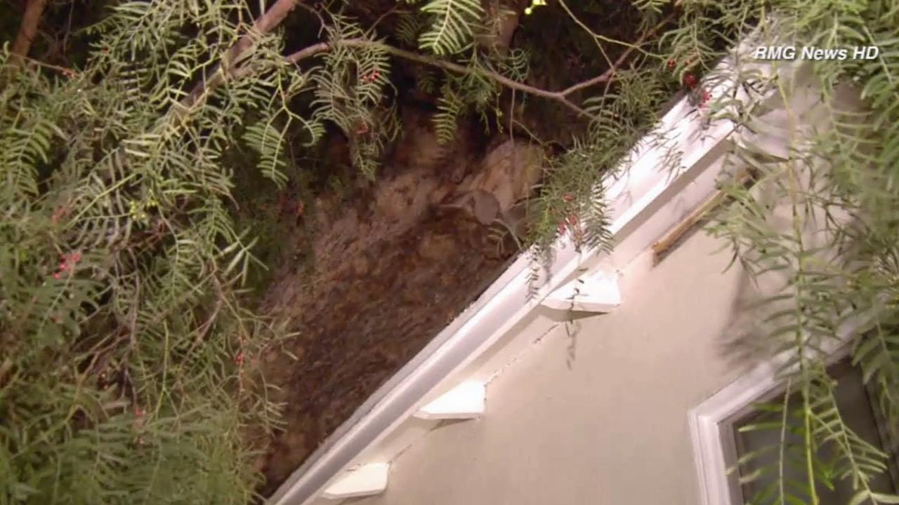 Five north Hollywood residents had to evacuate their homes after an 80-year-old tree came crashing down on Mar. 3, 2014.