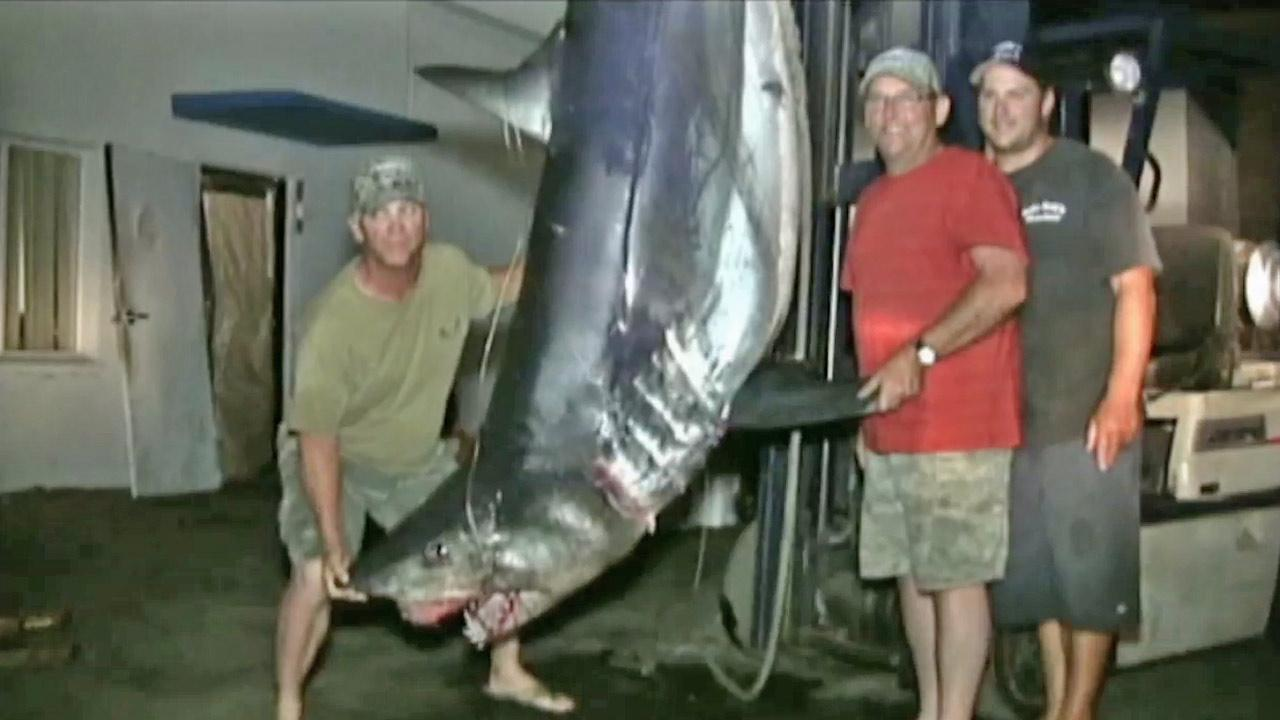 Some fishermen managed to pull in a shark weighing over 900 pounds off the coast of Dana Point on Thursday, Aug. 30, 2012.