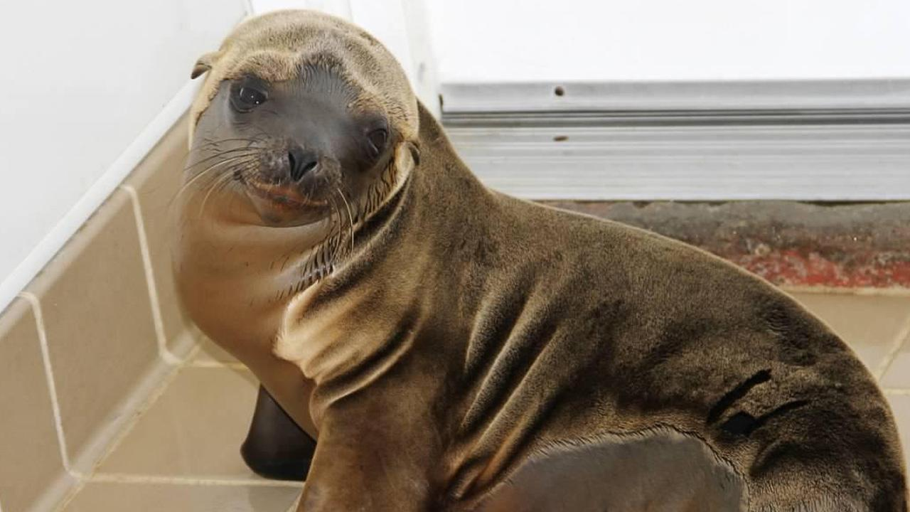 Oc Marine Mammal Center Sees Rise In Stranded Sea Lion Pups