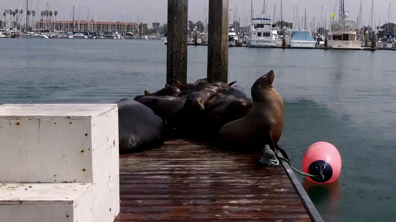 Sea lions are seen at the Ventura Harbor in this undated photo.