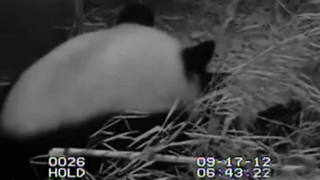 The giant panda cub at the National Zoo in Washington is seen in this still from webcam video shortly after its birth.