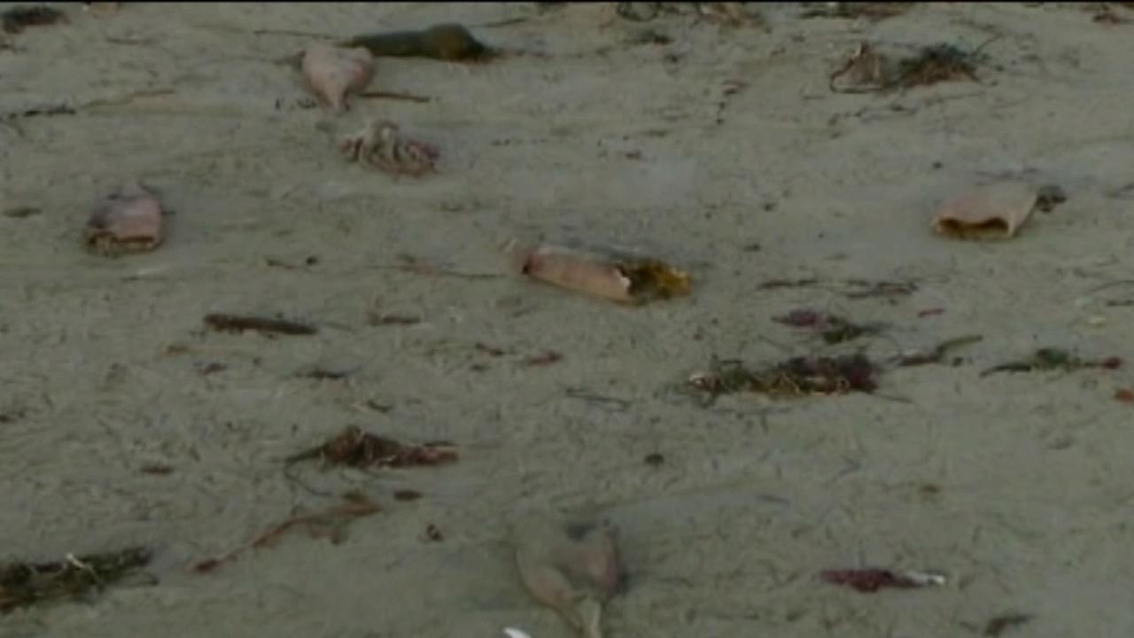 Humboldt squid carcasses are seen on a beach in Northern California.