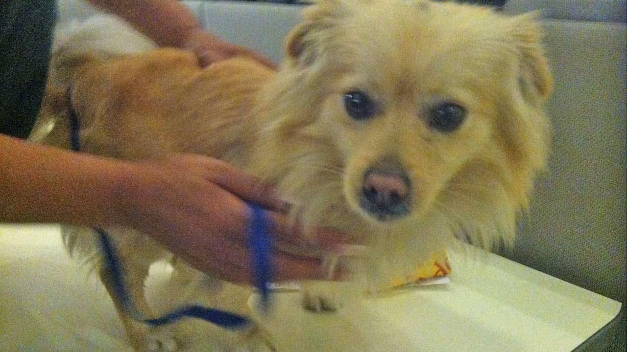 Our Pet of the Week on Tuesday is a 2-year-old male Pomeranian-mix named Niko. Please give him a good home!