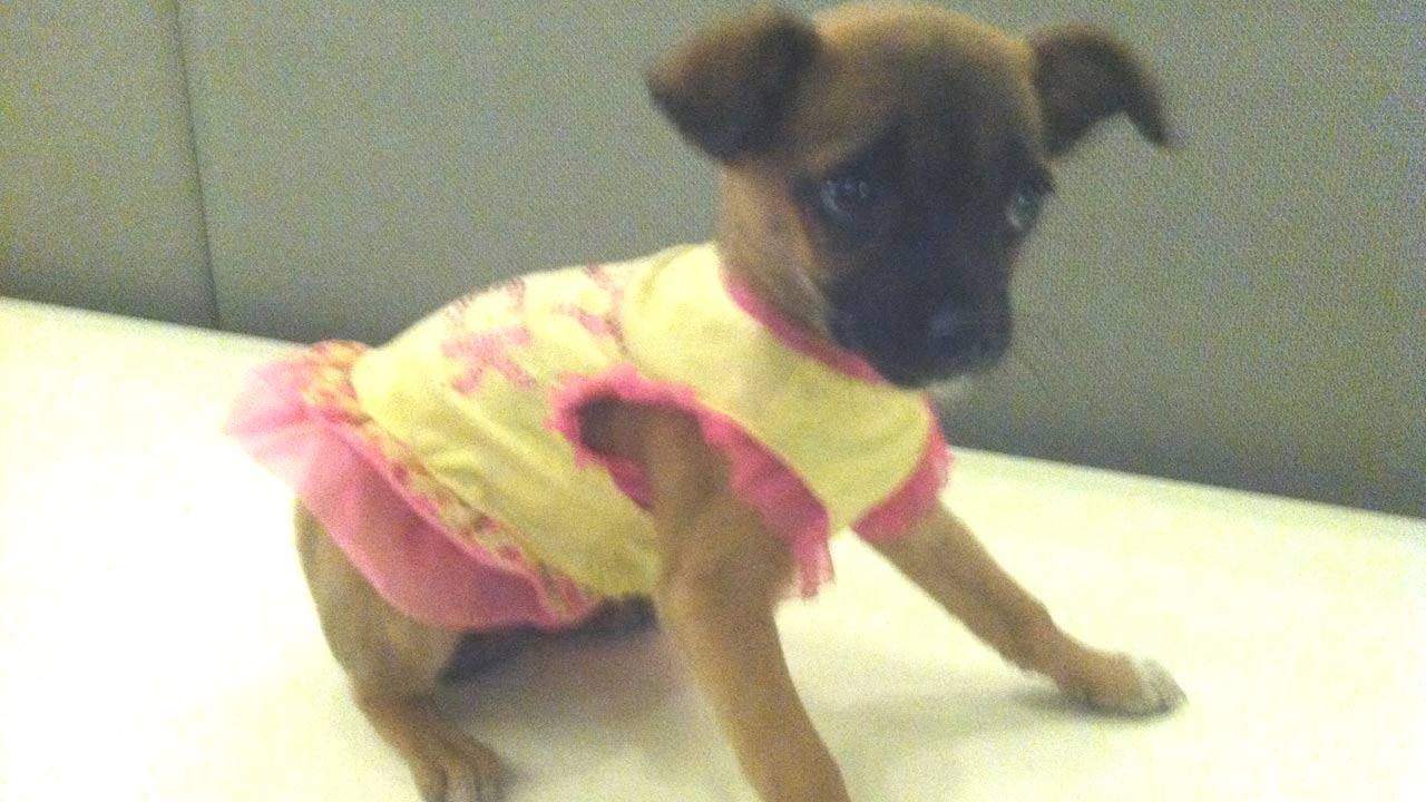 Our Pet of the Week on Tuesday is a 2-month-old female Chihuahua-mix named Candie. Please give her a good home!