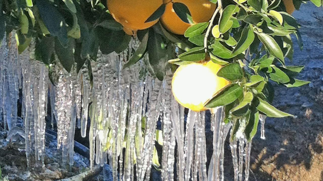 Icicles form on a citrus tree due to subfreezing temperatures that gripped the Southland on Sunday, Jan. 13, 2013.