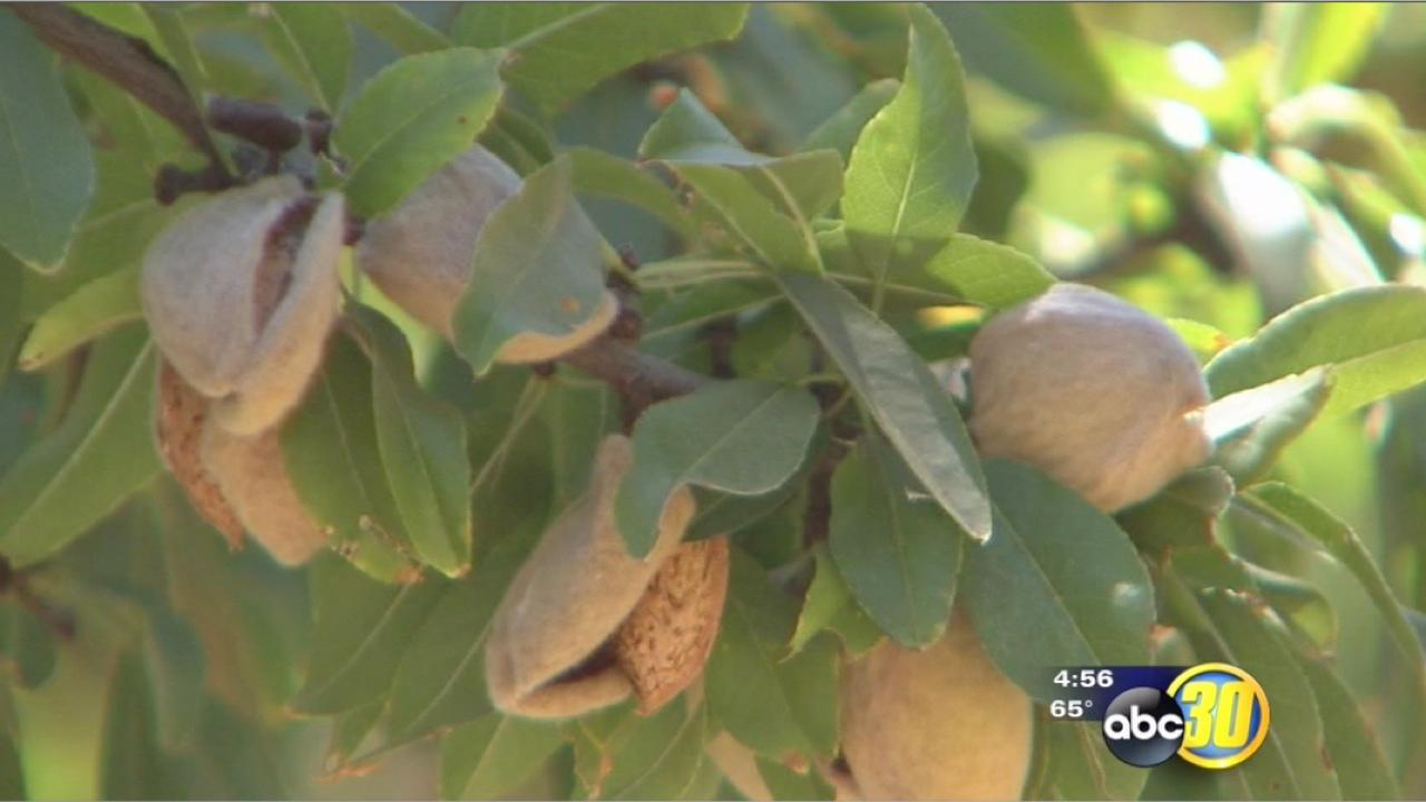 Almond acreage breaks records in California