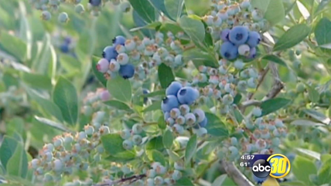 Americans eating more blueberries