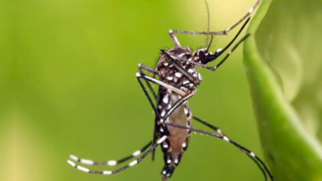 yellow fever mosquito