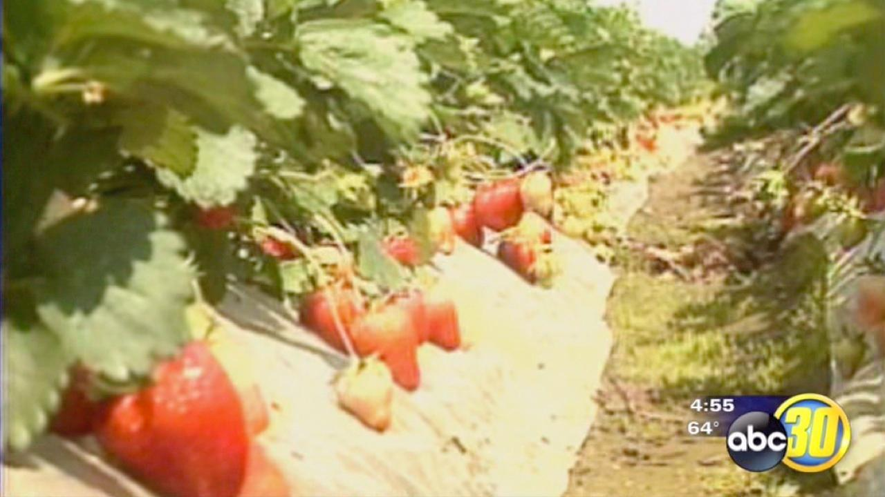 Strawberry growers get ready for harvest