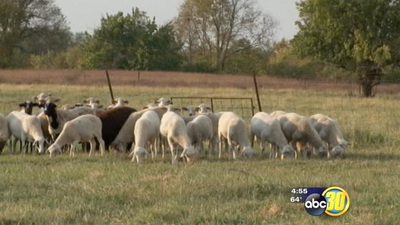 Lamb producers look to increase sales