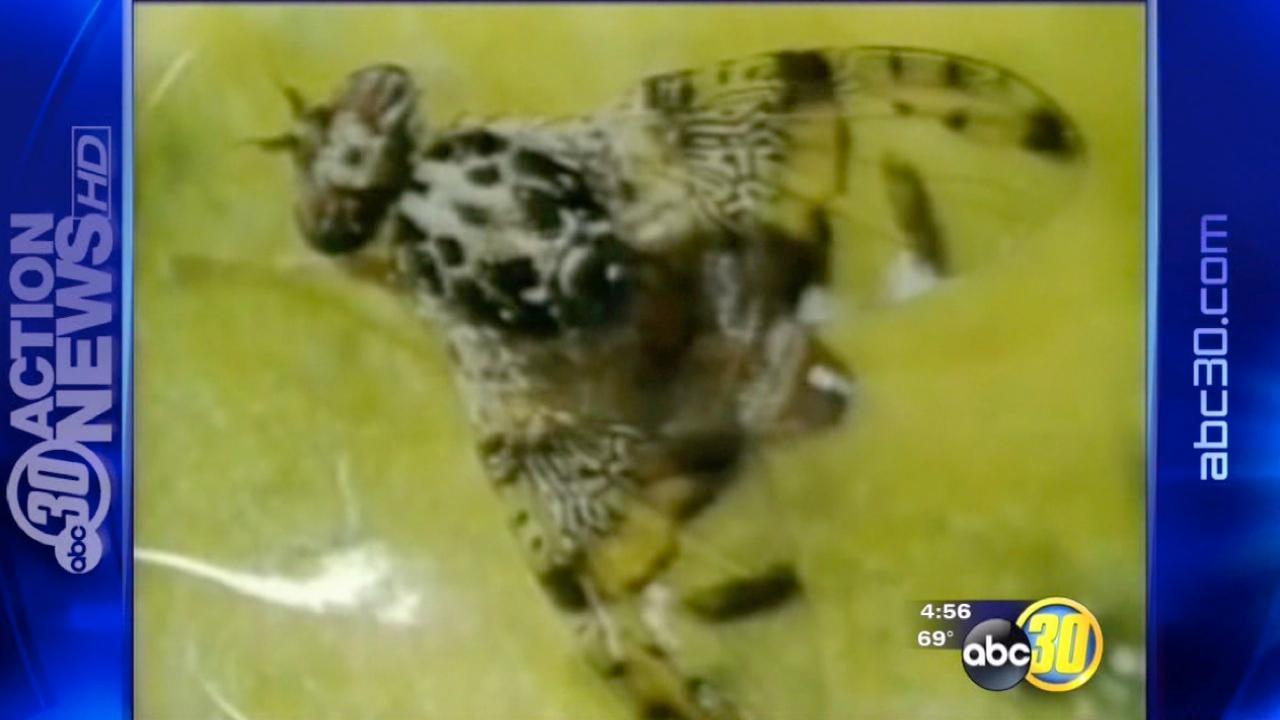 Fruit flies still a problem in California