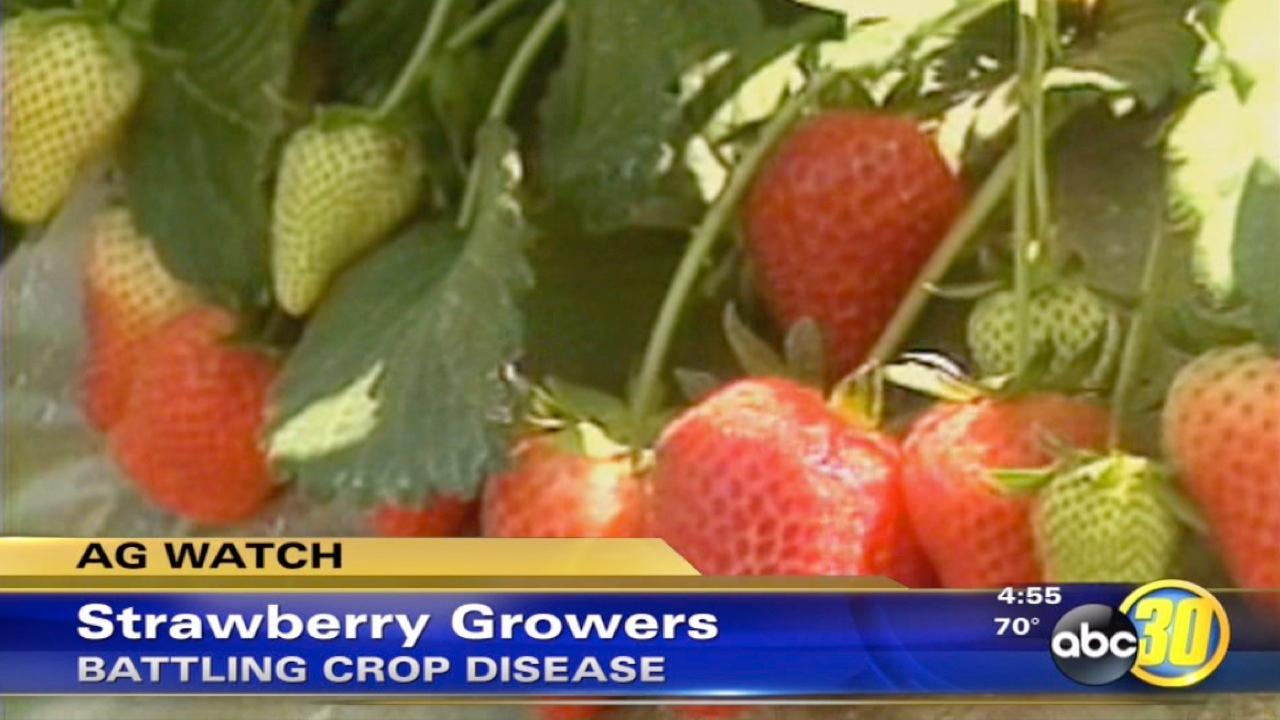 Strawberry growers in California battle crop disease