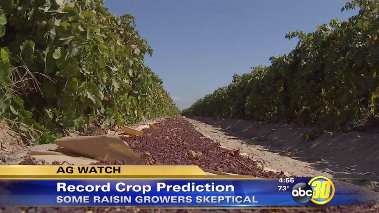 Some raisin growers disagree with crop predictions