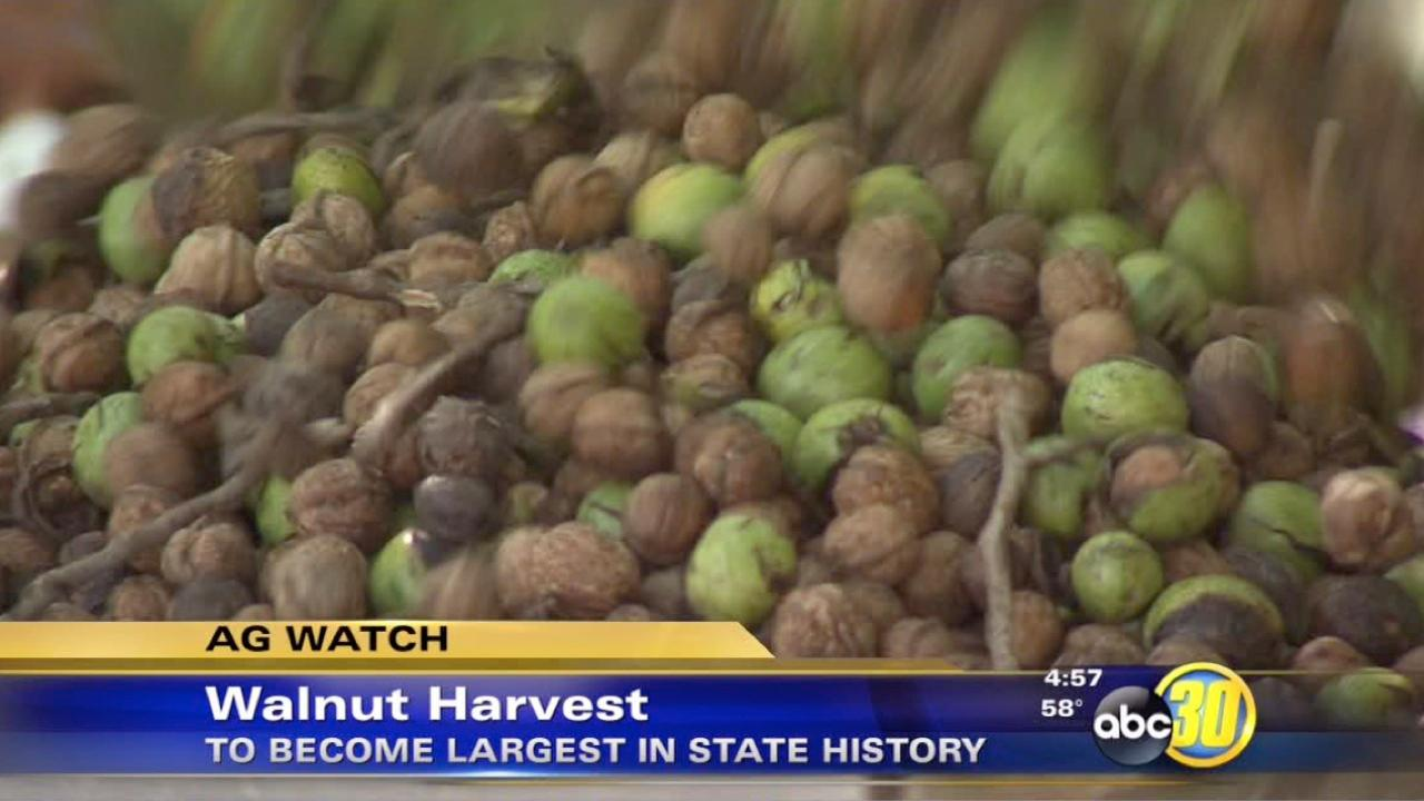 Walnut growers expect large harvest